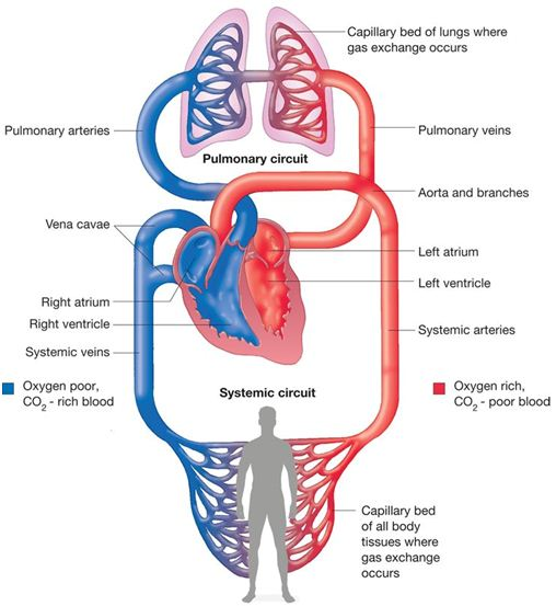 Mechanical Functioning of Heart