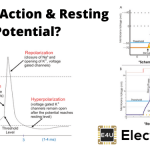 Action Potential and Resting Potential